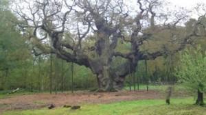 Robin's tree house, aka The Major Oak